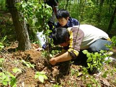 植栽したサルナシの根元直径をノギスで測るようす