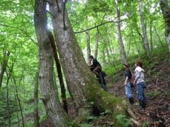 巨木のウラジロモミ