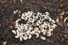 幼虫を堆肥場に戻し、自然に潜るのを待ちました。