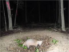 昨年の夏に堆肥場に訪れたアナグマ