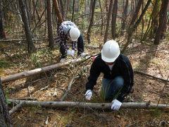 アカマツの倒木を運び出しやすい長さにノコギリで切るようす