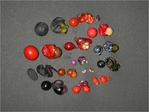 被食散布の果実 (新潟市角田浜・海岸クロマツ林で採集)