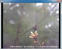 コナラの開葉