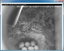 シジュウカラ巣箱カメラ:抱卵