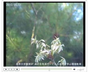 コナラの開花