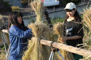 はぜに稲を掛ける学生たち